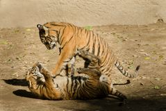 演奏老虎的崽 免版税库存图片