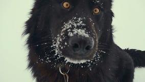 演奏雪的狗 冬天 股票视频