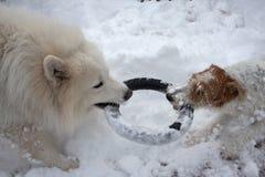 演奏雪的狗 免版税库存图片