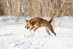 演奏雪的狗 库存照片