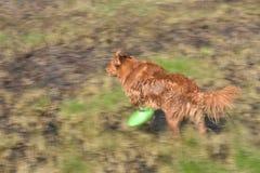 演奏飞碟的新斯科舍鸭子鸣钟人猎犬狗室外画象 库存图片