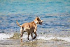 演奏水的狗 免版税库存照片