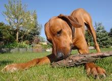 演奏年轻人的狗 免版税库存照片