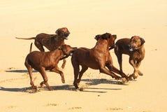 演奏rhodesian ridgebacks的海滩 库存照片