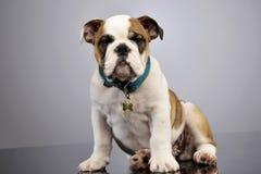 演播室射击了一只可爱的英国牛头犬小狗 库存图片