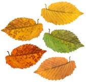 演播室摄影在白色背景的秋叶 免版税库存图片