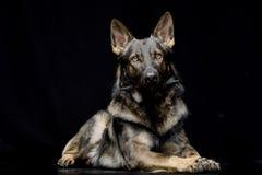 演播室被射击一只可爱的德国牧羊犬 免版税库存图片