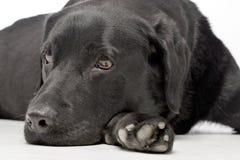 演播室被射击一只可爱的拉布拉多猎犬 库存照片