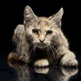 演播室被射击一只逗人喜爱的小的小猫 免版税库存照片