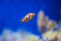 演示鱼在深蓝色海 免版税库存照片