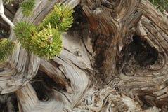 漩涡结构树 库存照片