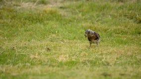 漫步和跳在绿色夏天草的美丽的鹅口疮鸟发现慢行和哺养 影视素材