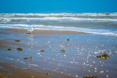 漫步在南帕德雷岛,得克萨斯的一只圆环开帐单的鸥 免版税库存照片