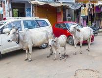 漫步在城市的母牛 免版税库存图片