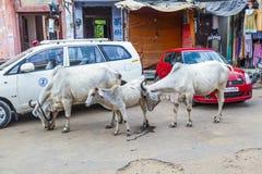 漫步在城市的母牛 库存照片