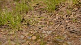 漫步在森林的坚硬工作的蚂蚁在夏天研了 影视素材