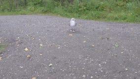 漫步在森林里的美丽的镇静海鸥在夏天慢动作的池塘岸旁边 股票视频
