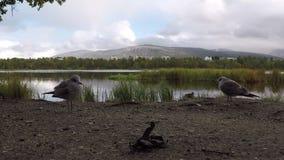 漫步在森林里的美丽的镇静海鸥在池塘岸旁边在夏天, 股票录像