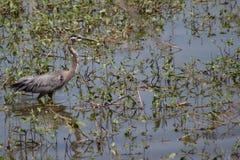 漫步在芦苇的伟大蓝色的苍鹭的巢 库存照片
