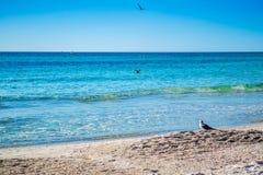 漫步在Brandeton,佛罗里达的一只伟大的Black-backed鸥 免版税图库摄影