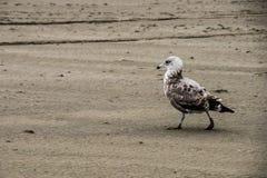 漫步沙子海滩长滩华盛顿的一只孤立海鸥在一个冷的风雨如磐的秋天晚上期间 免版税图库摄影
