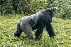 漫步的大猩猩  库存图片