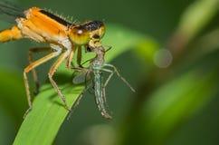 漫步的小捆蜻蜓 免版税库存图片