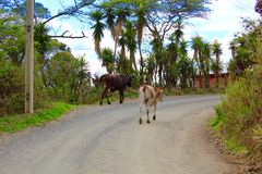 漫步的母牛自由地吃草 免版税库存图片