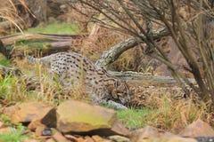 漫步的渔猫 免版税库存照片