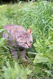 漫步的猫 免版税图库摄影