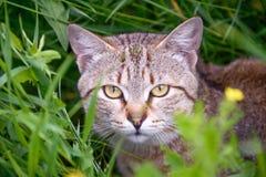 漫步的猫 库存图片