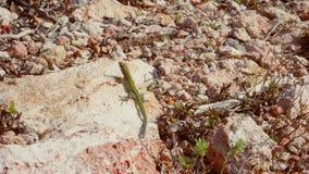 漫步的蜥蜴和捉住的太阳 免版税库存照片