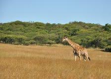 漫步的长颈鹿 免版税图库摄影