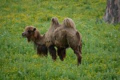 漫步的骆驼 库存照片