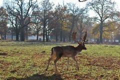 漫步的鹿 免版税库存图片
