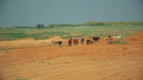 漫步通过乡区的山羊和绵羊牧群  影视素材