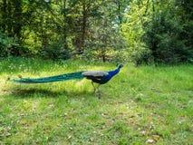 漫步通过公园的孔雀 免版税库存图片