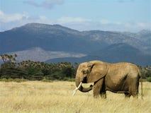 漫步通过桑布鲁草原的大象 免版税图库摄影