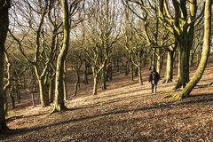 漫步通过Tandle小山的,大曼彻斯特郡森林 库存照片