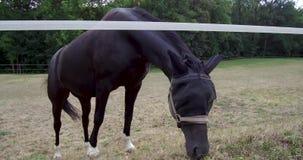 漫游在动物园或农舍动物动物界黑色跑马或他们的栖所动物生命土地的马  股票视频