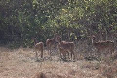 漫游在密林的鹿 库存图片