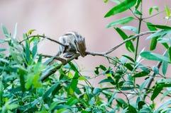 漫游在庭院里的印地安棕榈灰鼠 免版税图库摄影