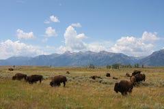 漫游西方的北美野牛 免版税库存照片