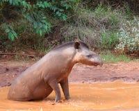 潘塔纳尔湿地貘 免版税库存图片