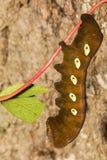 潘多拉狮身人面象飞蛾幼虫 图库摄影
