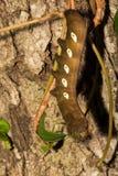 潘多拉狮身人面象飞蛾幼虫 库存照片