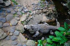 潜伏在坑的鳄鱼 免版税库存照片