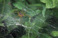 潜伏在它的网的可怕蜘蛛 库存图片
