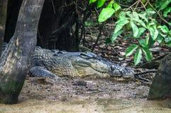 潜伏在河Kinabatangan的泥河岸的鳄鱼 Bo 免版税库存照片