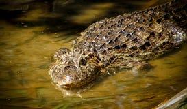 潜伏在沼泽的Wate的宽广装管嘴的凯门鳄凯门鳄latirostris 库存照片
